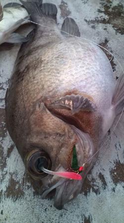 日本海 メバル釣り いそべの若大将