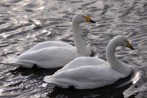 新潟県北 神林 大池 白鳥