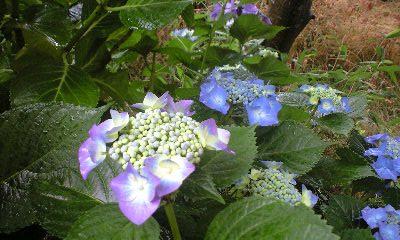 0806紫陽花1