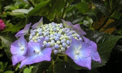 0806紫陽花0