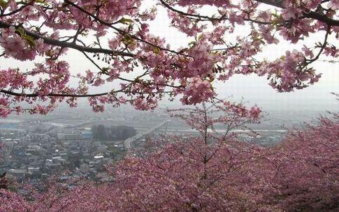 新松田河津桜