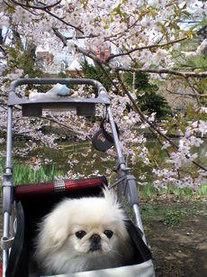 道庁の桃桜