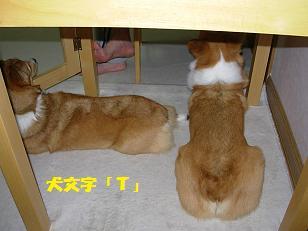 テーブル下コーギーズ