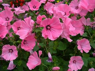 実家のお花
