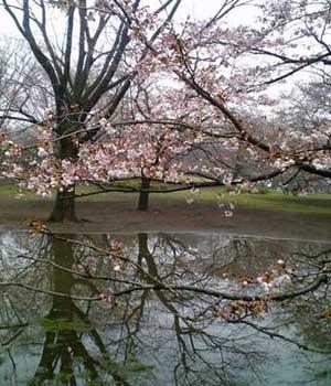 水たまりと桜