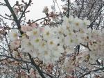 少し咲いていた桜