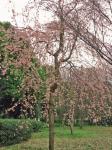 しだれ桜も大好き!かわいいよね~