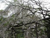 六義園_しだれ桜