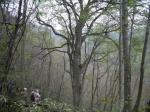 The biggest beech tree