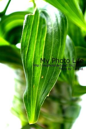 カサブランカ葉っぱ1