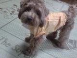 20070709221806トイプードル オレンジの洋服