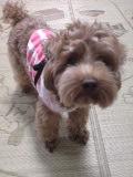 20070711074236 トイプードル ピンクのストライプと水玉の洋服