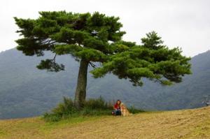 雲みたいな松の木♪