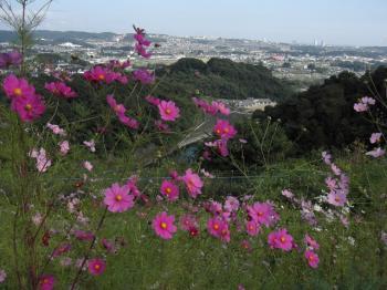 コスモス越しの街の風景