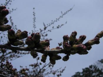 桜の蕾。。。