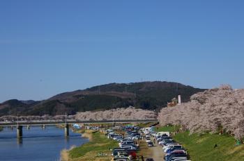 白石川堤の一目千本桜