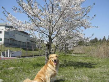 ここにも桜がぁぁ♪