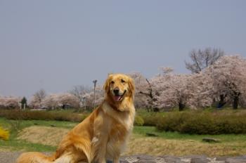 馬見ケ崎河川公園の桜