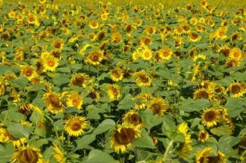 向日葵畑♪