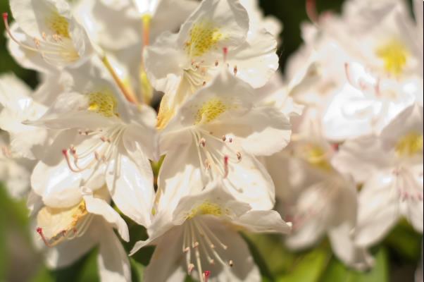 WhiteAzalea