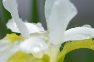 white and yellow iris