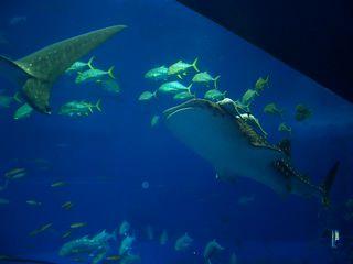 美ら海 ジンベイザメ