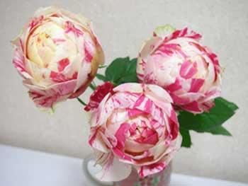 コロコロの薔薇