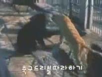 050921_熊VSライオン