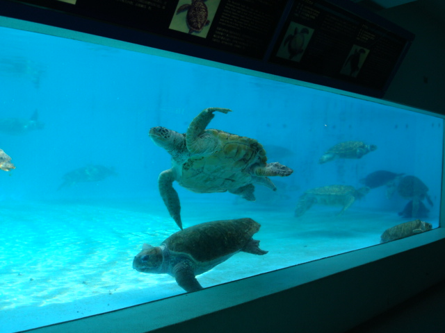 海亀とはサイパンで一緒に泳いだよね