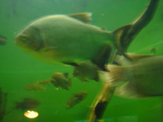 海に関係なく淡水魚