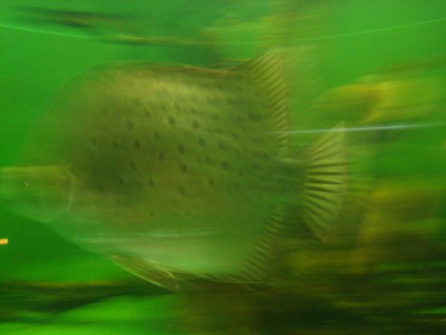 空き水槽の魚
