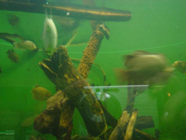 淡水魚と流木