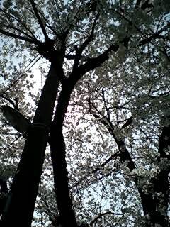 sakuramichi0001.jpg