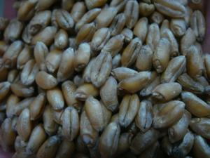 種小麦 3