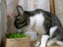 美味しい猫草100113