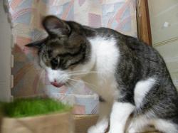 美味しい猫草2100113