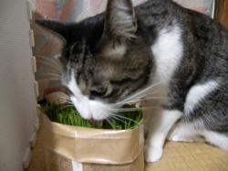 美味しい猫草3100113