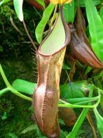 食虫植物~!