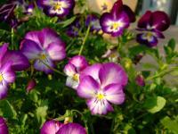 紫ぱんじー