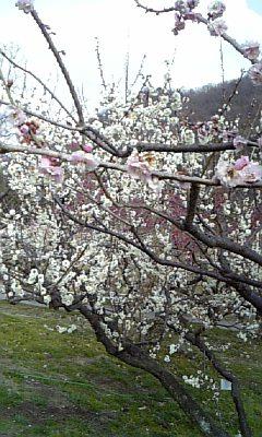 ウッカリしてると梅の枝がブスッと刺さります!