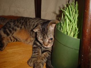 猫草食べて力をつけよぉ