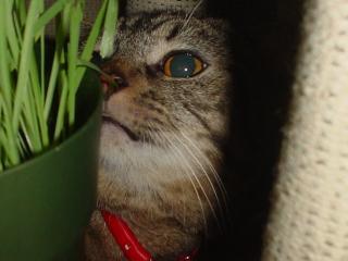 猫草猫草っっキラーン
