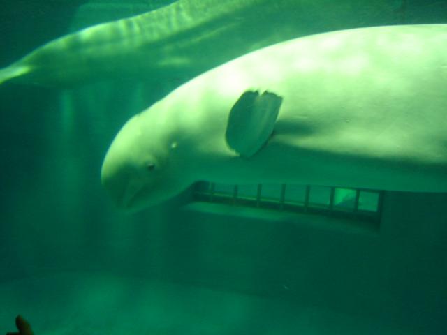 白イルカ 2