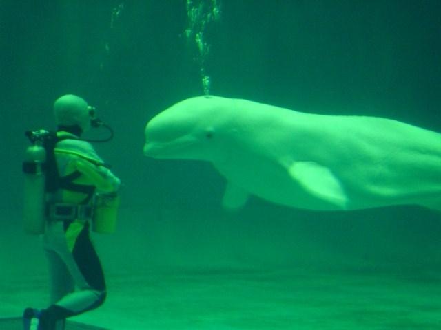 白イルカ 3
