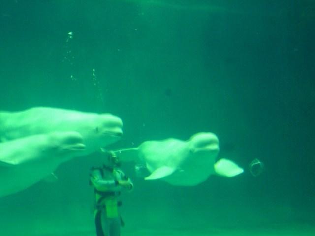 白イルカ 4