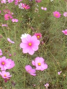 秋桜 (3)
