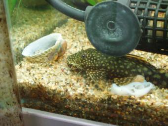 ひっくり返るジャンボフネアマの殻