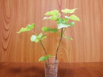 成長した芋の葉