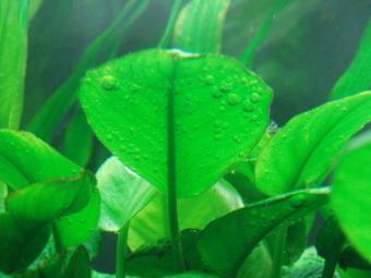 バルテリーの葉の裏の気泡