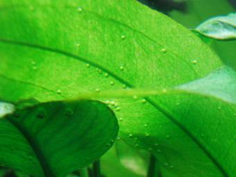 アマゾンソードの葉の裏の気泡